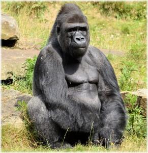 gorilla-214829_640