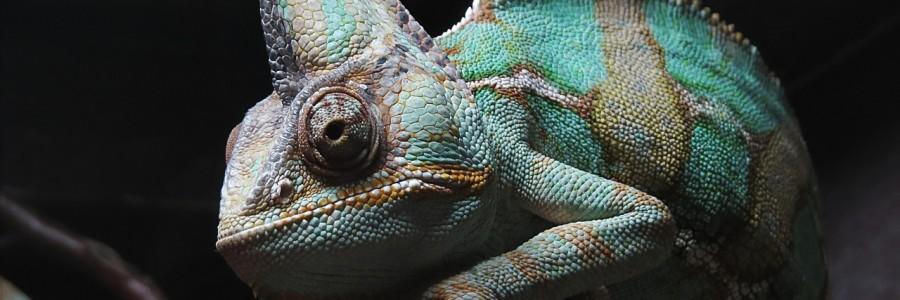 chameleon-1235145_1280