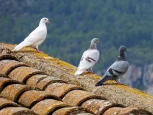 pigeons-1010071_1280