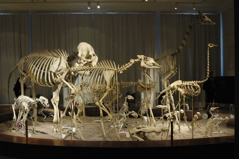Animal_skeletons_at_Finnish_Natural_History_Museum_(elephant,_giraffe_etc)